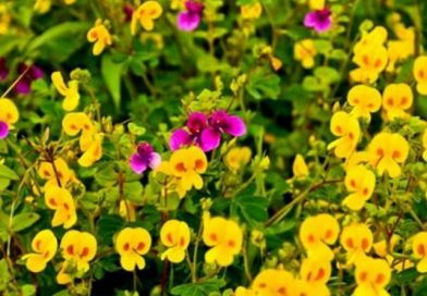 Kaas Plateau – Maharashtra's Valley of Flowers